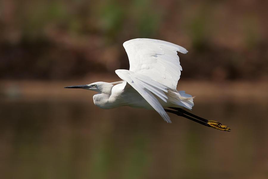 Egret Photograph - Small White Egret by Yuri Peress