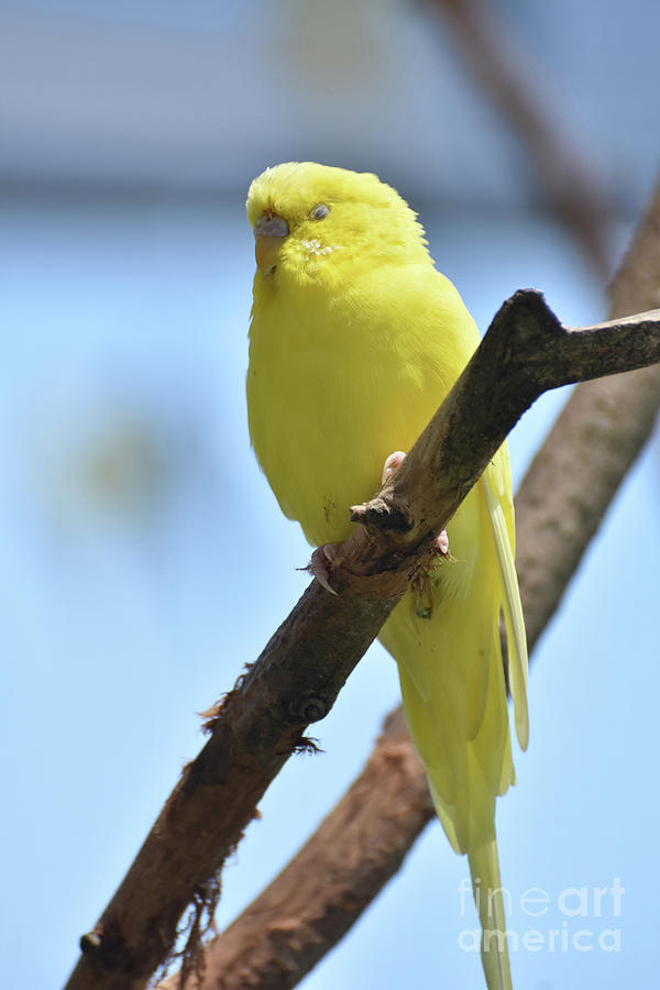 Budgie Photograph - Small Yellow Budgie Parakeet In The Wild by DejaVu Designs