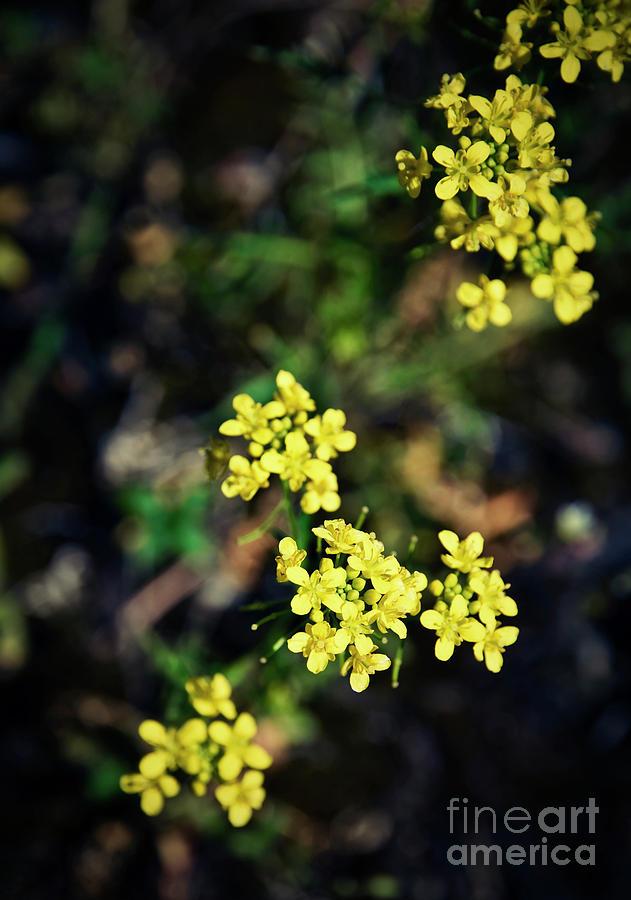 Small yellow flowers on a dark background photograph by jozef jankola background photograph small yellow flowers on a dark background by jozef jankola mightylinksfo