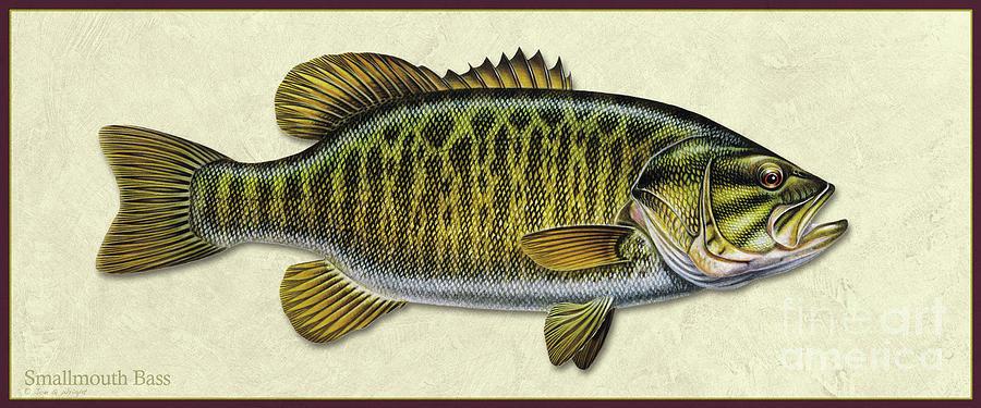 Smallmouth Bass ID by Jon Q Wright
