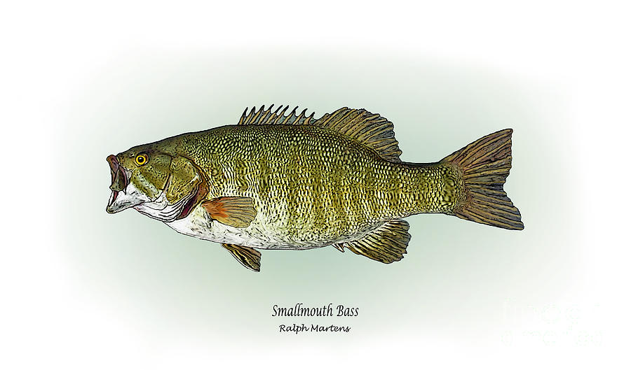 Smallmouth Bass Painting By Ralph Martens