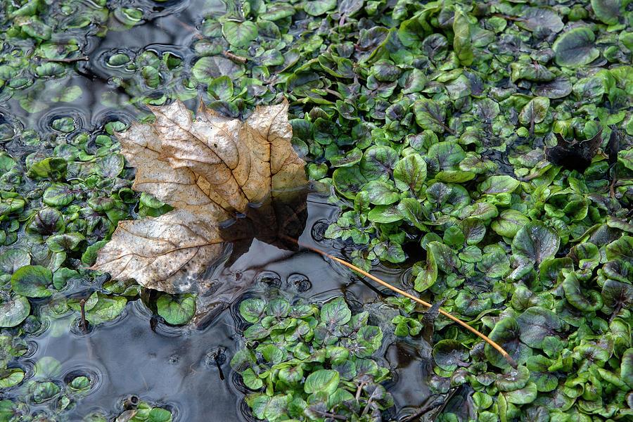 Small's Creek Leaf by Rick Shea