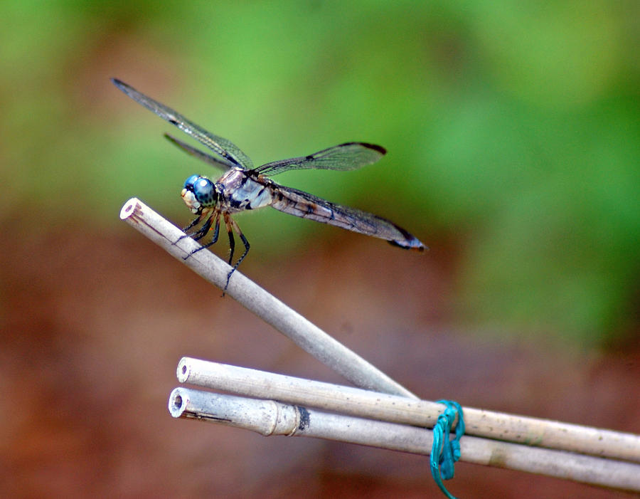 Dragon Fly Photograph - Smile Pretty by Donna Bentley