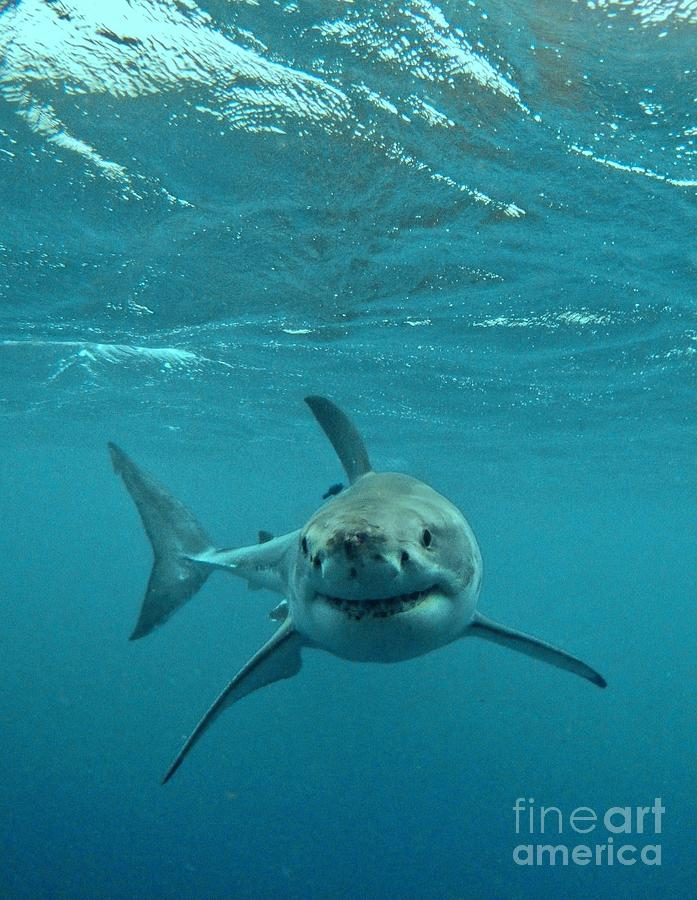 Great White Shark Photograph - Smiley Shark by Crystal Beckmann