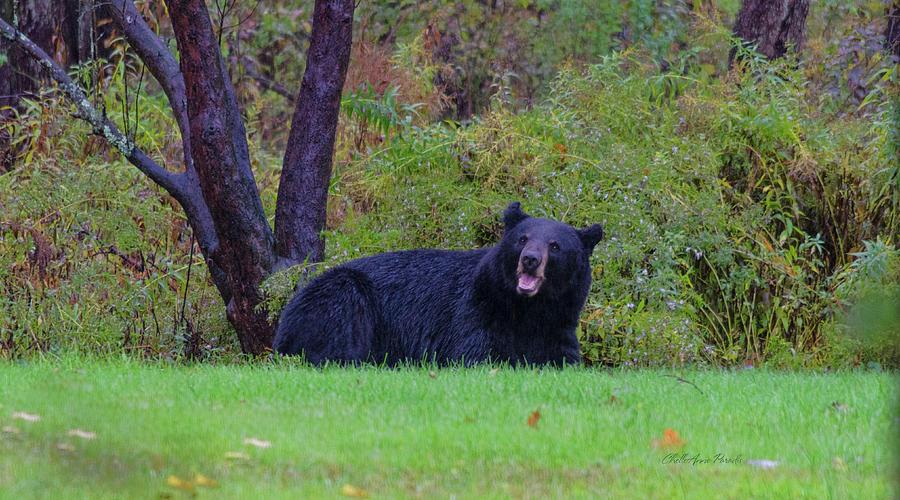 Bear Photograph - Smiling Bear by ChelleAnne Paradis