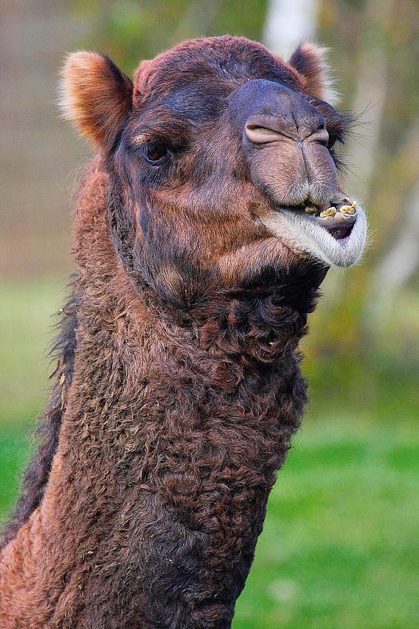 Camel Photograph - Smiling Camel by Naman Imagery