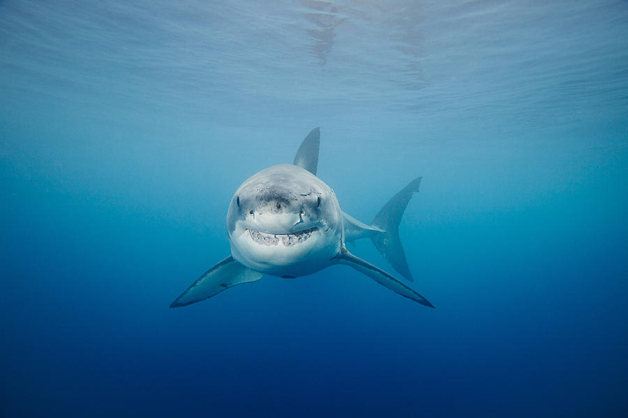 Animal Photograph - Smiling Great White Shark by Dave Fleetham - Printscapes