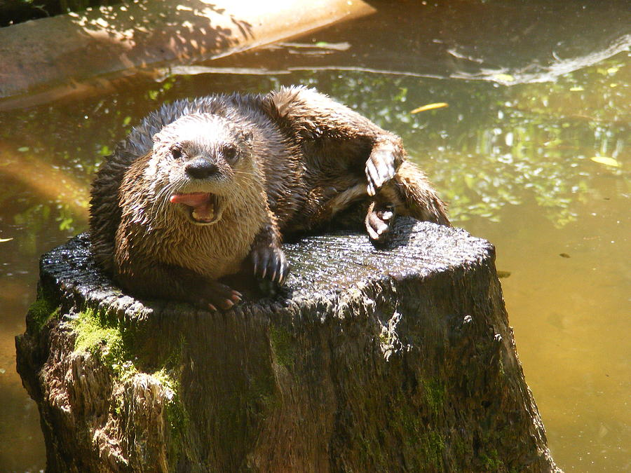 Charles Towne Landing Photograph - Smiling Otter by Elena Tudor