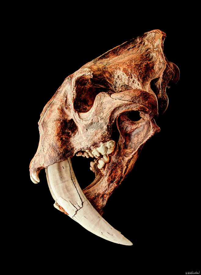 https://images.fineartamerica.com/images/artworkimages/mediumlarge/1/smilodon-fatalis-skull-3-weston-westmoreland.jpg