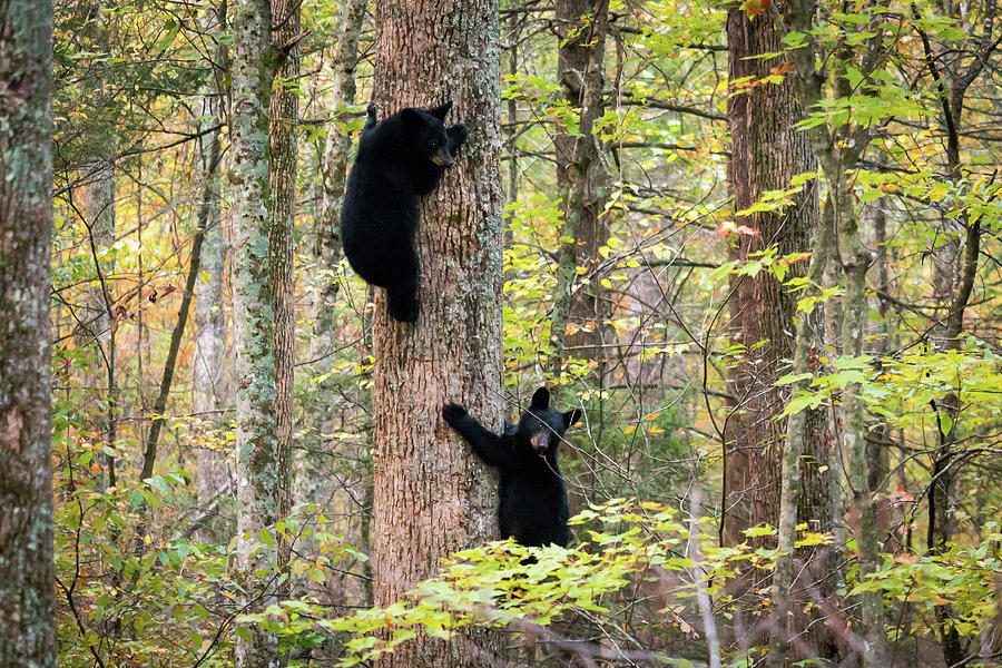 Smoky Mountain Cubs by Chris Berrier