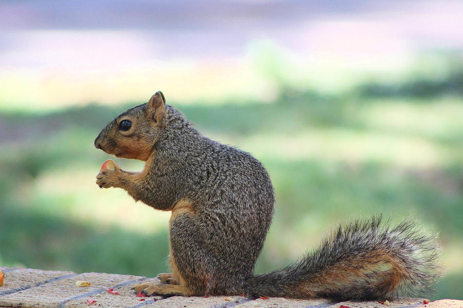 Squirrel Photograph - Snack Time by Colleen Cornelius