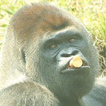 Gorilla Photograph - Snackin by Linda Jackson