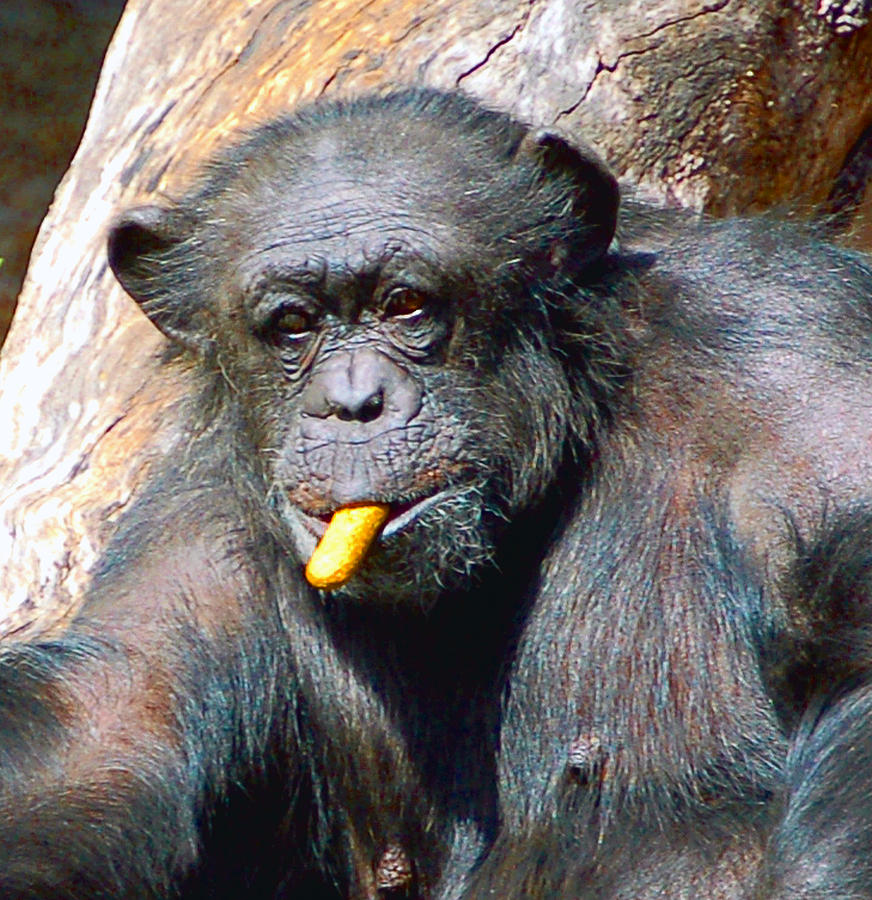 Primate Photograph - Snacking Chimpanzee II by Donna Proctor
