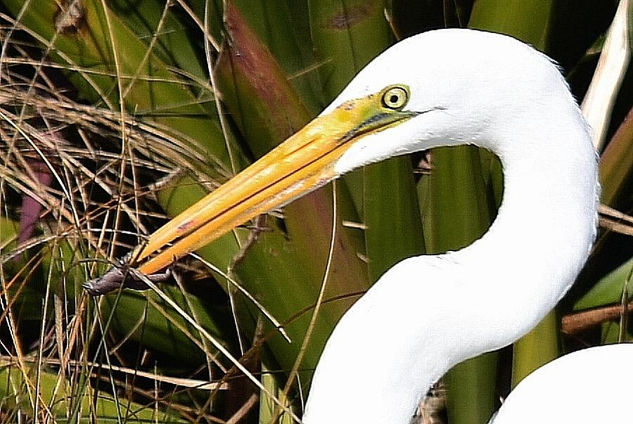 Egret Photograph - Snacking  by Patricia Black
