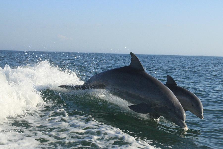 Atlantic Bottlenose Dolphin Photograph - Snaggle Fin by Tara Moorman Photography
