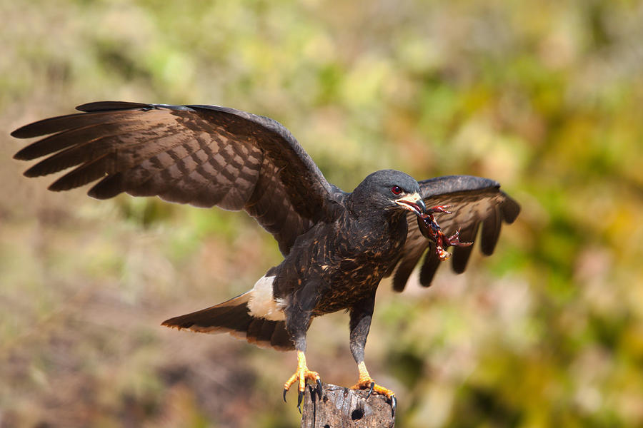 Snail Kite With Crab In Pantanal Photograph