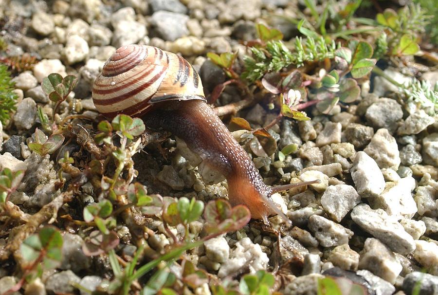 Snail Photograph - Snail On Rocks by Steve Somerville