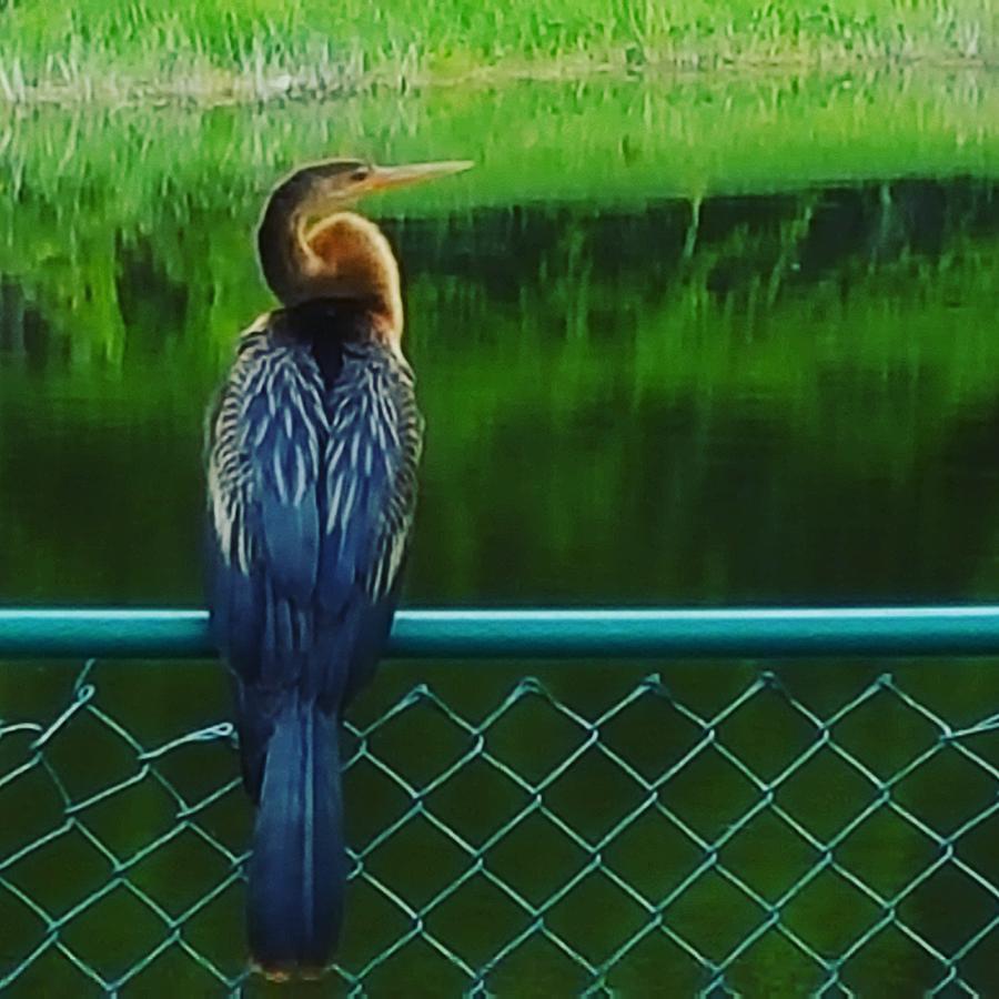Anhinga Photograph - Snakebird by Ric Schafer