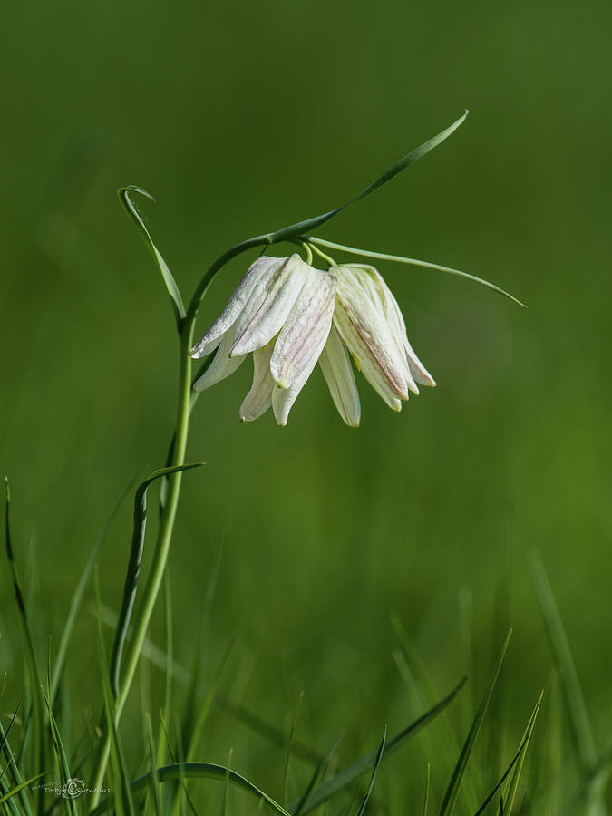 Snakes Head With Two White Bells Photograph