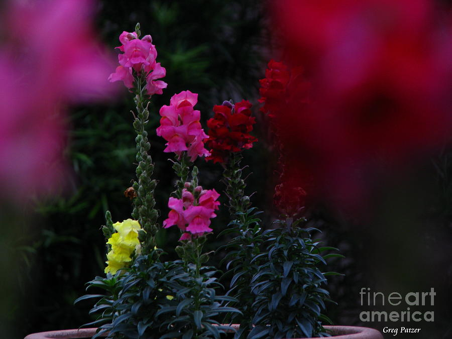 Snapdragons Photograph - Snapdragon by Greg Patzer