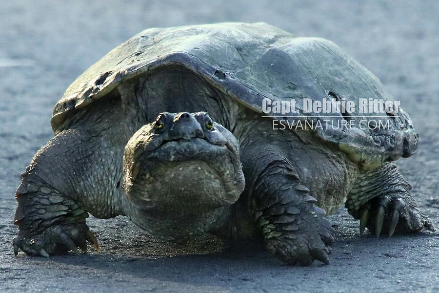 Snapping Turtle Photograph - Snapping Turtle 8597 by Captain Debbie Ritter