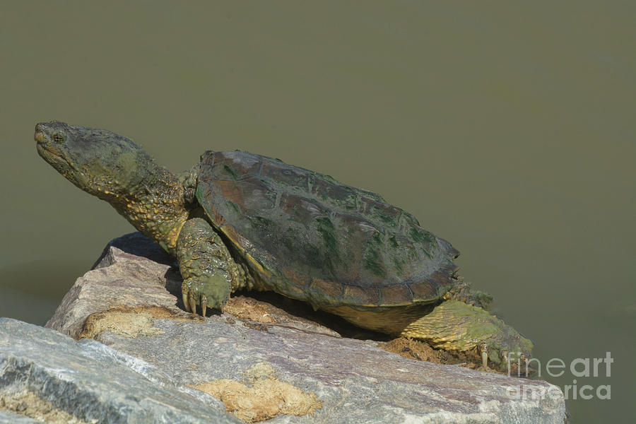 Snapping Turtle Photograph - Snapping turtle by Merrimon Crawford