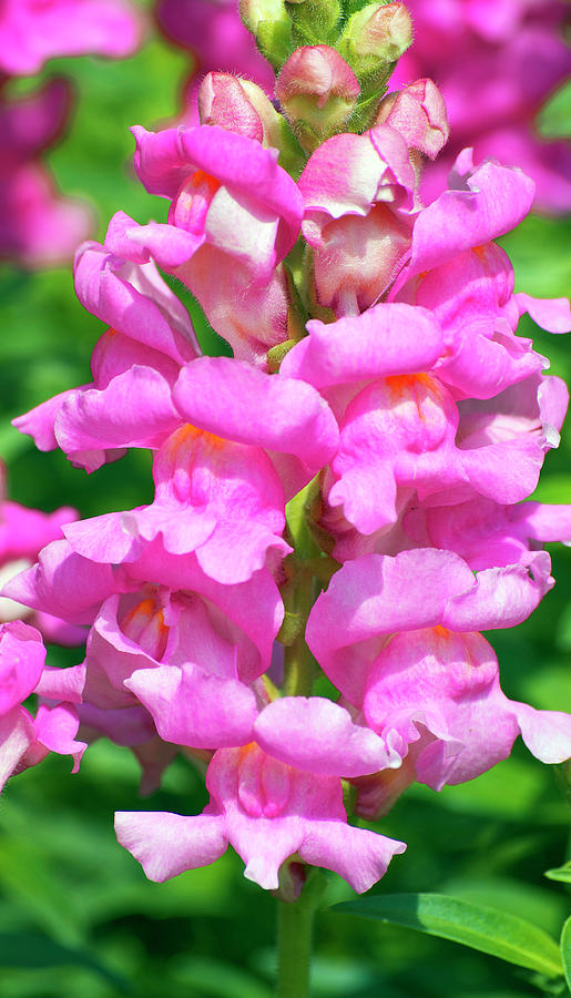 Snapdragon Photograph - Snappy Pink by Tara Doerr