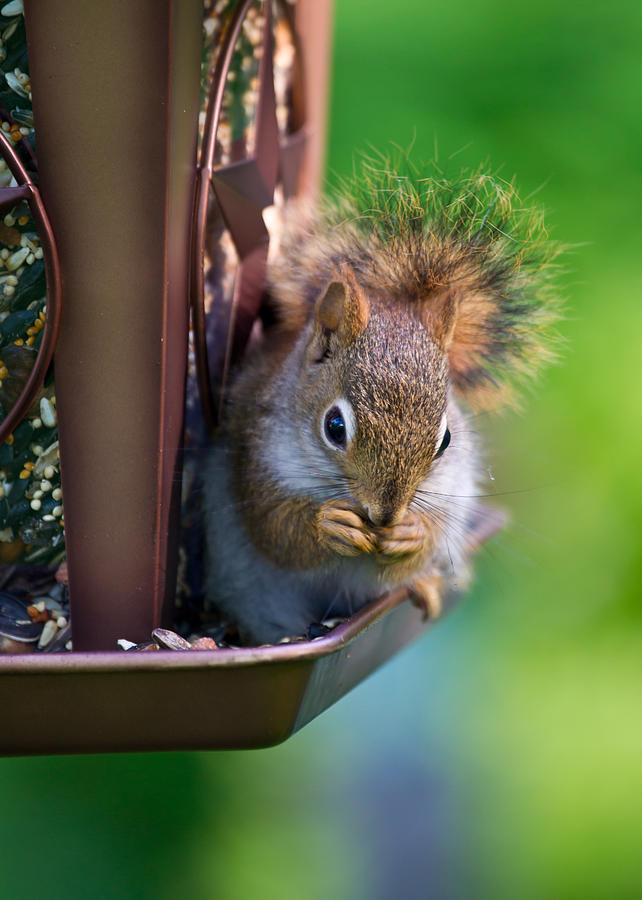 Squirrel Photograph - Sneaky Red Squirrel by Edward Myers