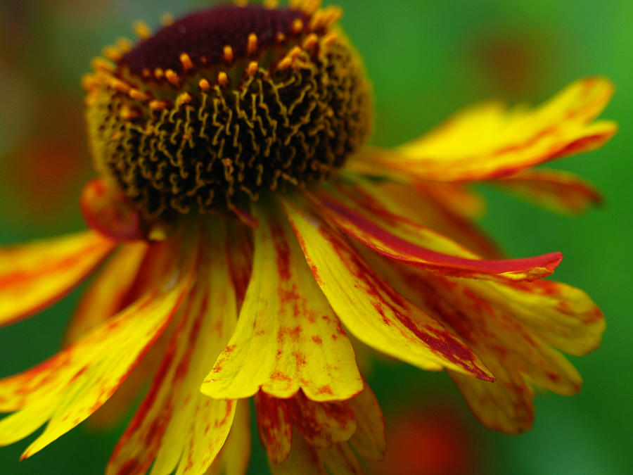 Coneflower Photograph - Sneezeweed by Juergen Roth