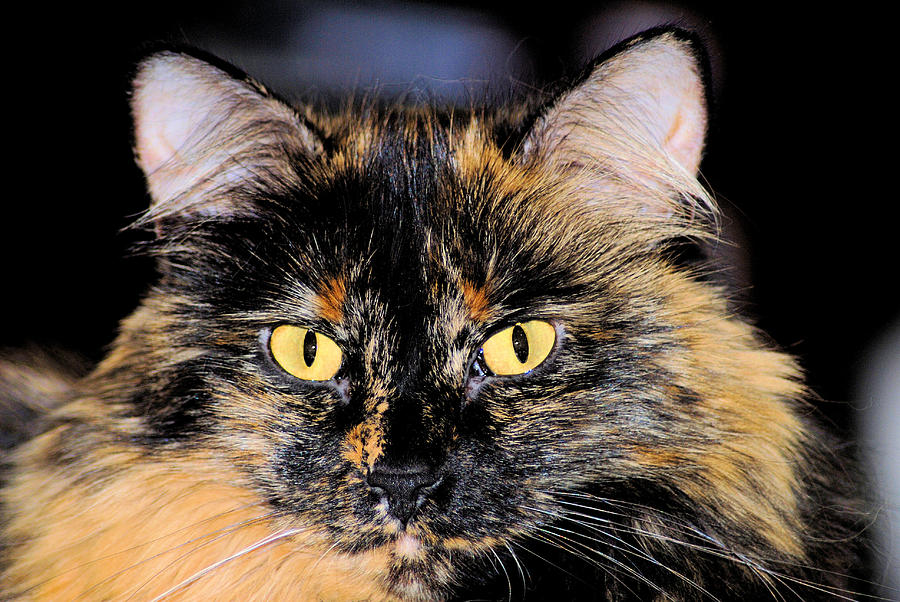 Cat Photograph - Snickers by Cheryl Poland