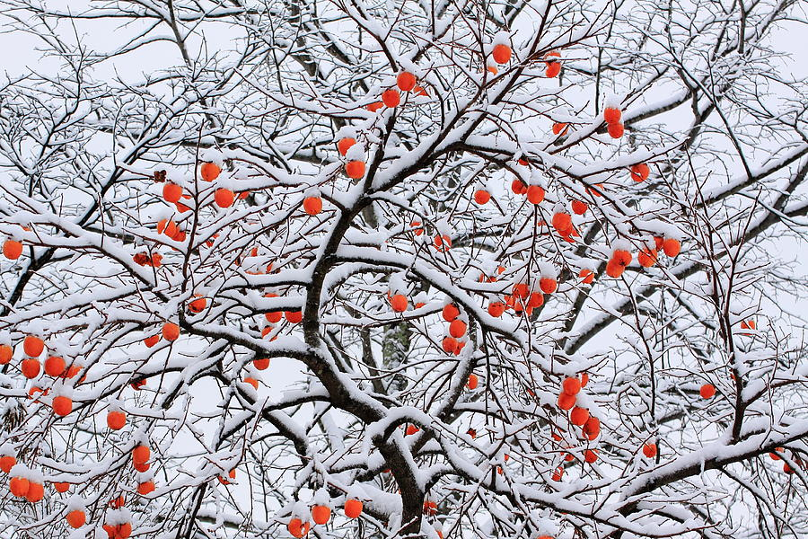 snow and a persimmon tree photograph by koichi watanabe. Black Bedroom Furniture Sets. Home Design Ideas