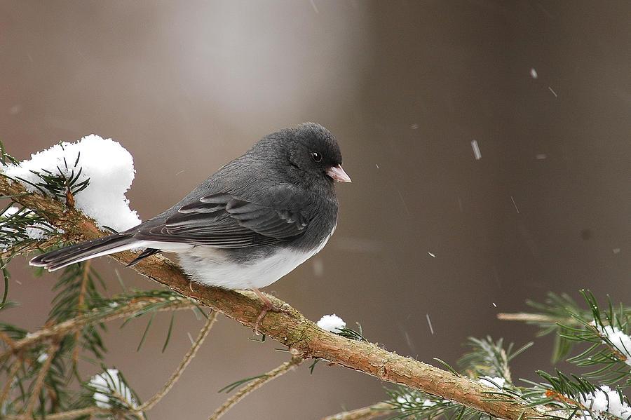 snow bird photograph by alan lenk