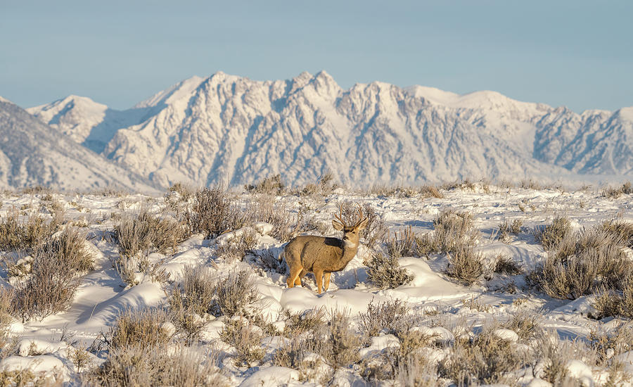 Wyoming Photograph - Snow-buck In Wyoming by Yeates Photography