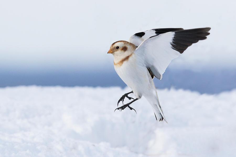 Snow Bunting landing by Mircea Costina Photography