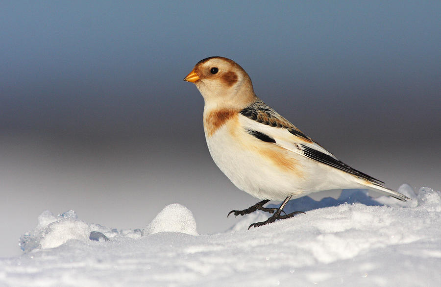 Nature Photograph - Snow Bunting (plectrophenax Nivalis) by Mircea Costina