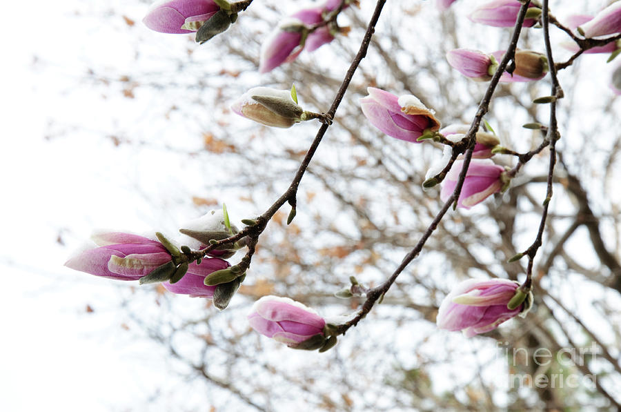 Sky Photograph - Snow Capped Magnolia Tree Blossoms 2 by Andee Design