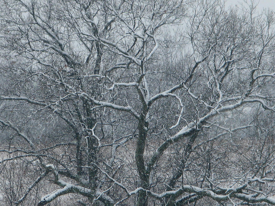 Trees Photograph - Snow Covered by Martie DAndrea