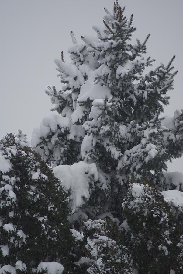 Snow Photograph - Snow Covered Pine by Heather Green