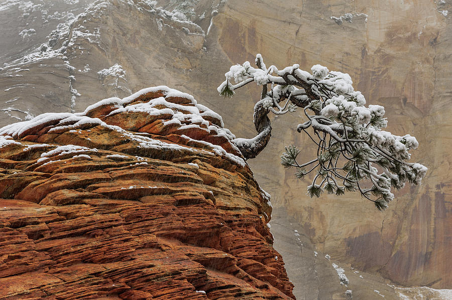 Snow Covered Pine in Zion Natl Park by Jeff Foott