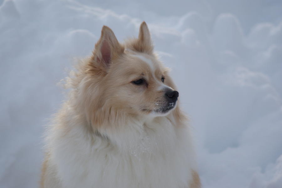 Snow Photograph - Snow Dog by Heather Green