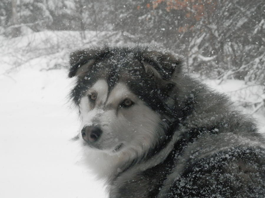 Dog Photograph - Snow Dog by Heather Sylvia
