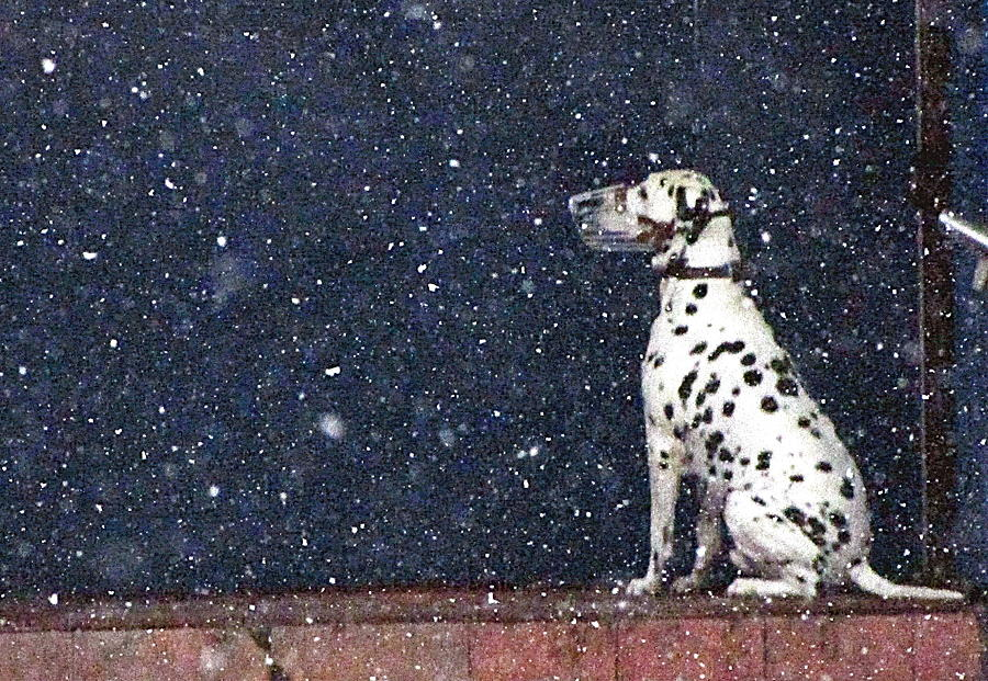 Snow Dog Photograph by Yury Bashkin