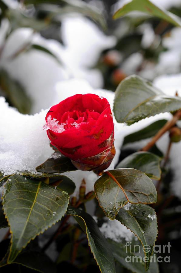 Snow Photograph - Snow Flower by Maureen Norcross
