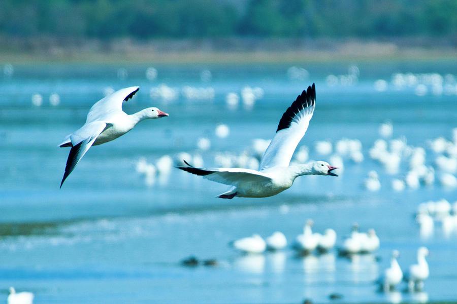 Bird Photograph - Snow Geese by Jerry Weinstein