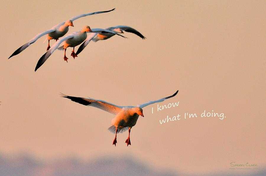 Snow Goose said I Know What Im Doing Photograph by Sherry Clark