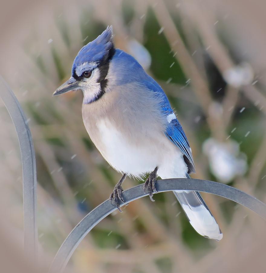 Snow Jay Blue Jay Bird Photograph By Mtbobbins Photography