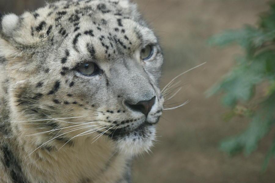 Animals Photograph - Snow Leopard 8 by Ernie Echols