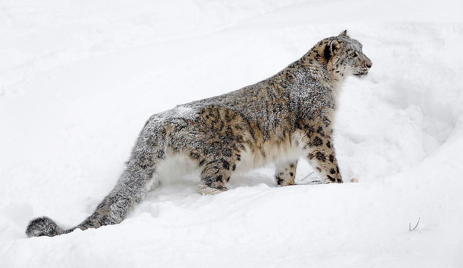 Snow Leopard Photograph - Snow Leopard Alert by Athena Mckinzie
