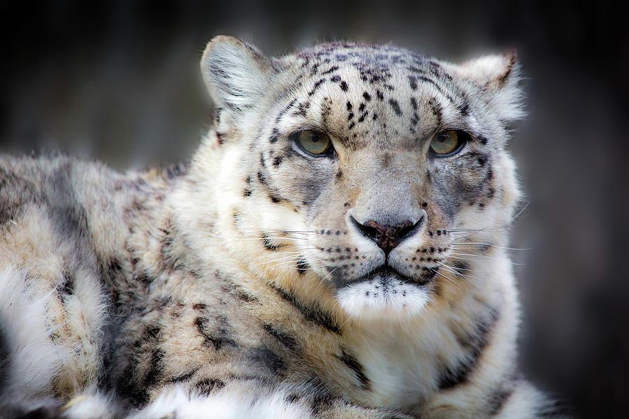 Snow Leopard Photograph - Snow Leopard by Dan Pearce