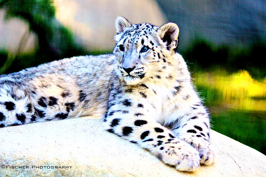 Snow Leopard Photograph - Snow Leopard  by Kyle Fischer